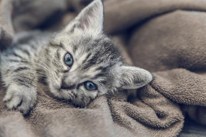 ブランケットの上で寝転がる子猫