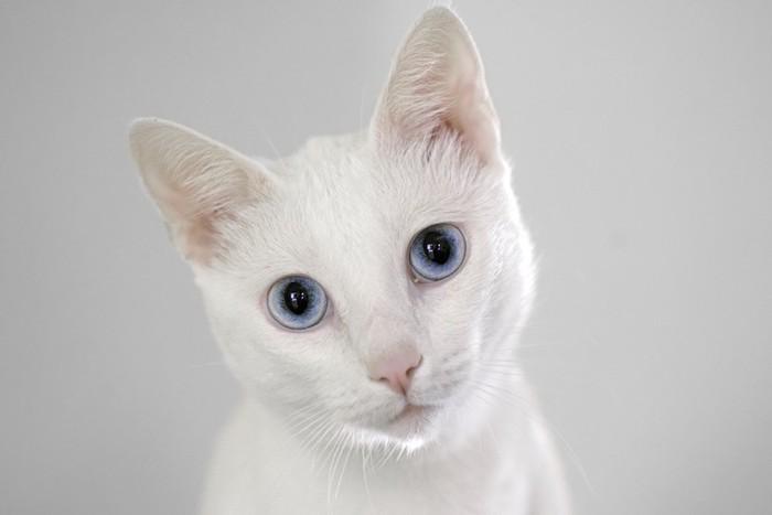 こちらを見つめる青い瞳の白猫