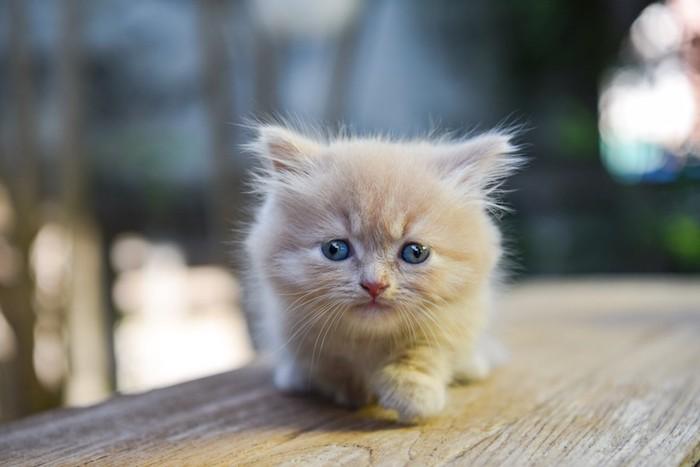 ベンチの上のマンチカンの子猫