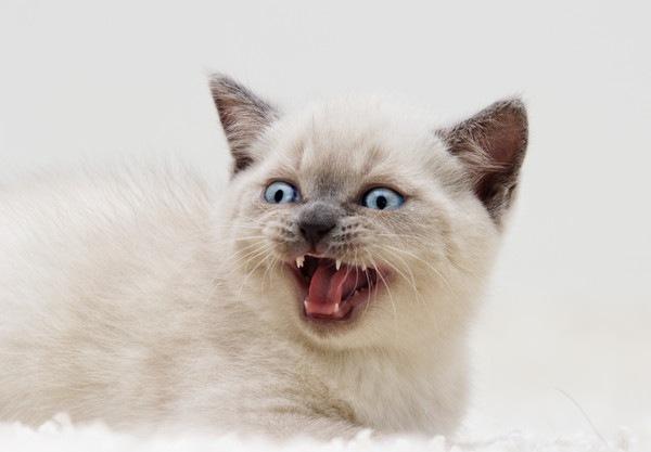 鳴く白い子猫