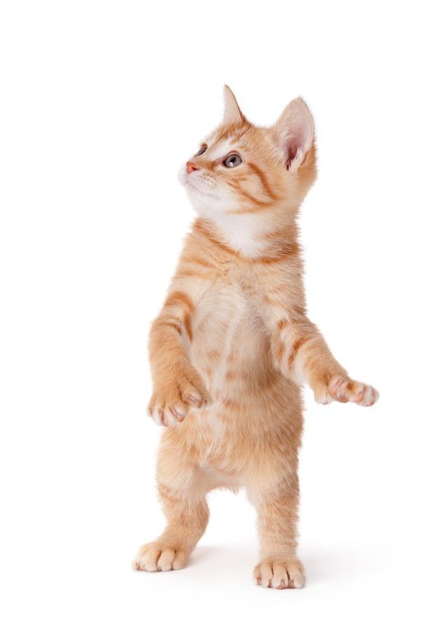 多指の子猫