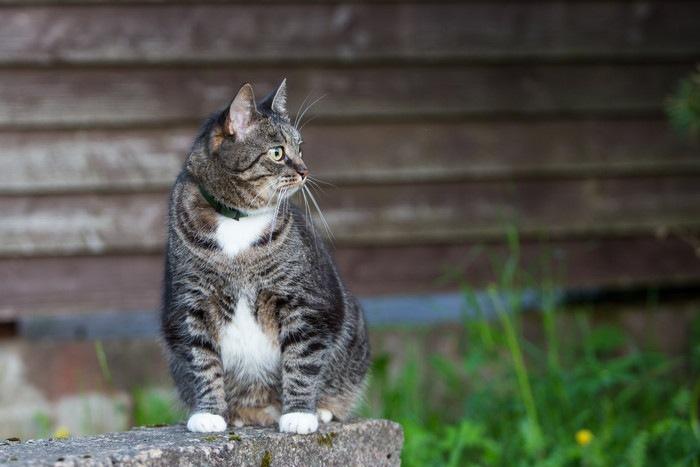 外で木の壁の前で座っている猫