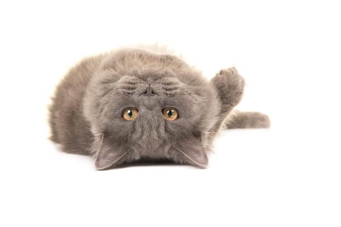 ブリティッシュロングヘアの写真