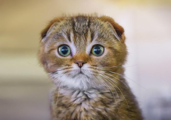 子猫のスコティッシュフォールド