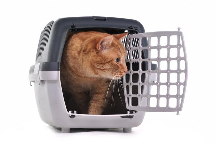 キャリーから様子をうかがう猫