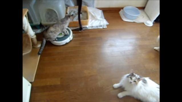 トイレ前でルンバに乗る猫