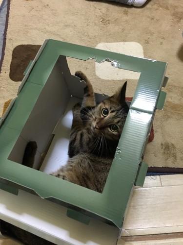 おもちゃの箱に入って遊ぶキジトラ猫