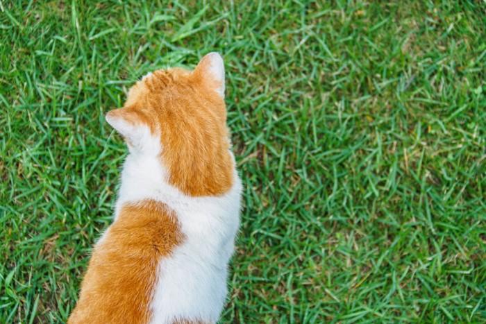 芝生の上を散歩する猫