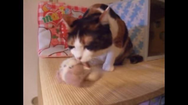 ぬいぐるみを舐める猫(高所)