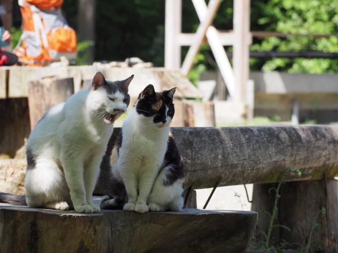 鳴いている2匹の猫