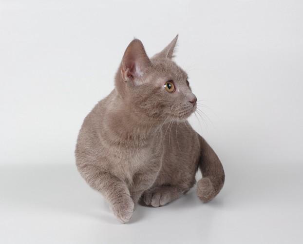 茶色のマンチカンの子猫