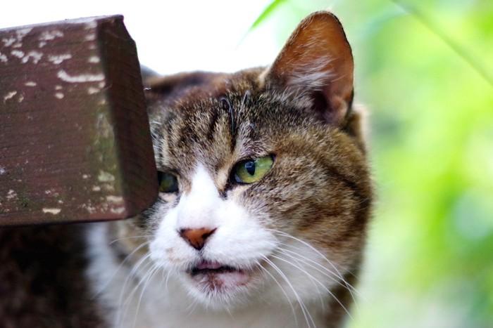 もの影から覗く怒っている猫