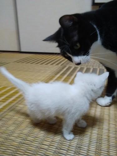 実家で他の猫と