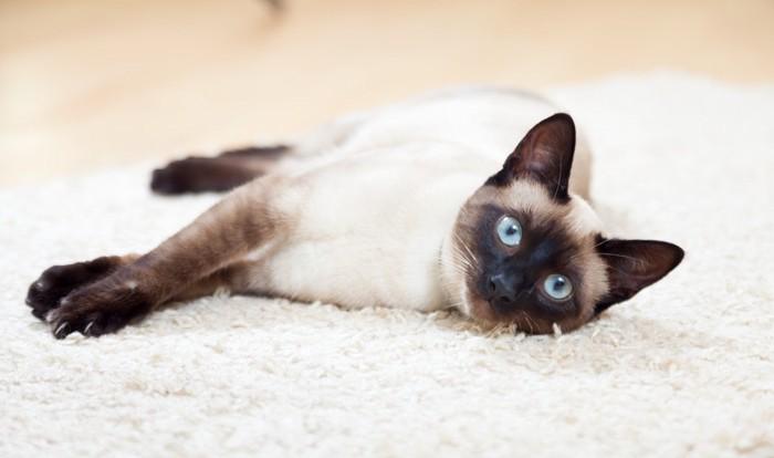 横になるシャム猫