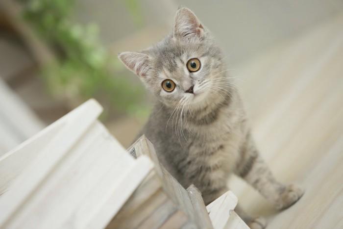 物陰から見つめるブリティッシュショートヘアの子猫