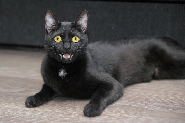 こちらに向かって鳴く黒猫