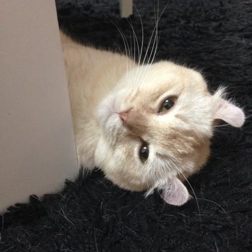 保護猫カフェの猫ジョアンナちゃん