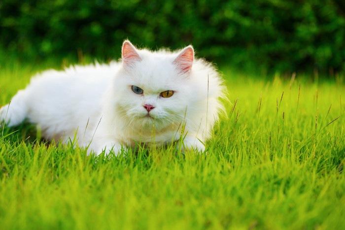 後ずさりする白猫
