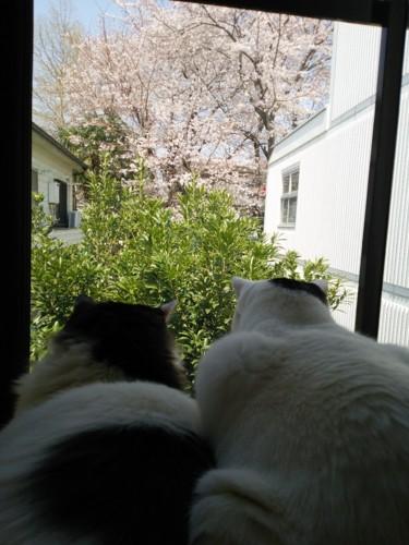 桜を観賞する猫達