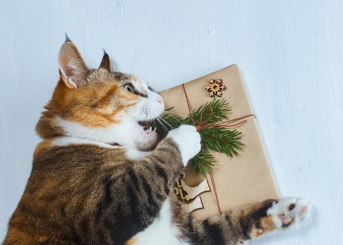 ギフトボックスを掴んで齧る猫
