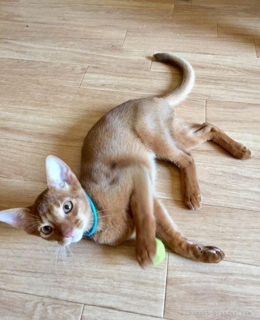 子猫のアビシニアンレッド2