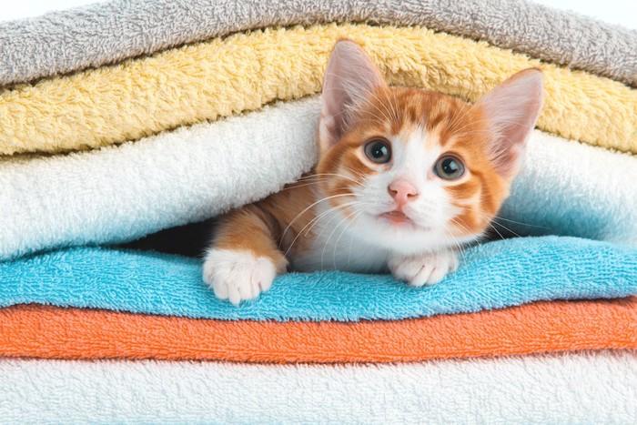 タオルの間から顔を出す子猫