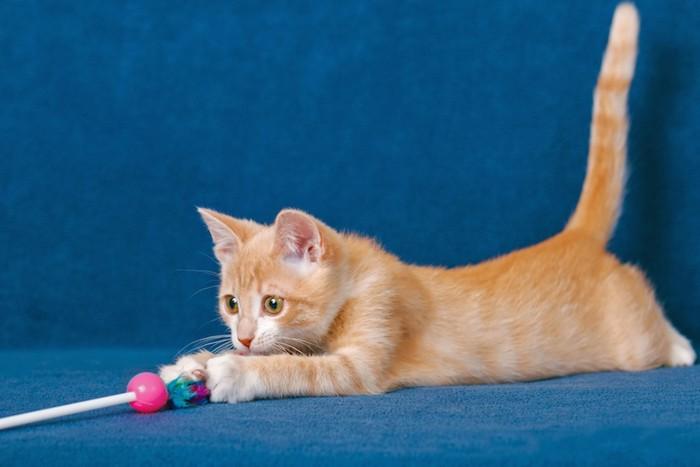 猫じゃらしで遊ぶ仔猫