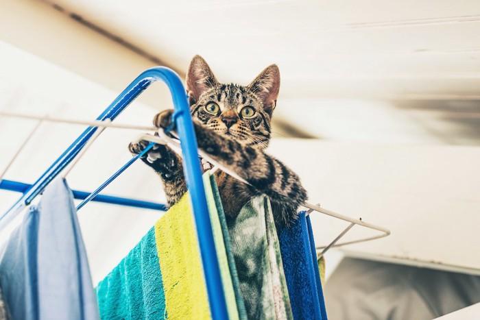 干してある洗濯物に乗る猫