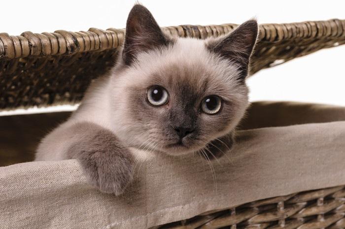 顔がブルーの子猫