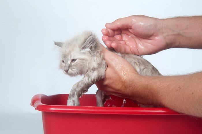 お風呂に入れてもらう子猫