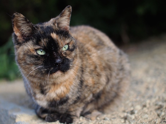 遠くを見つめるサビ猫