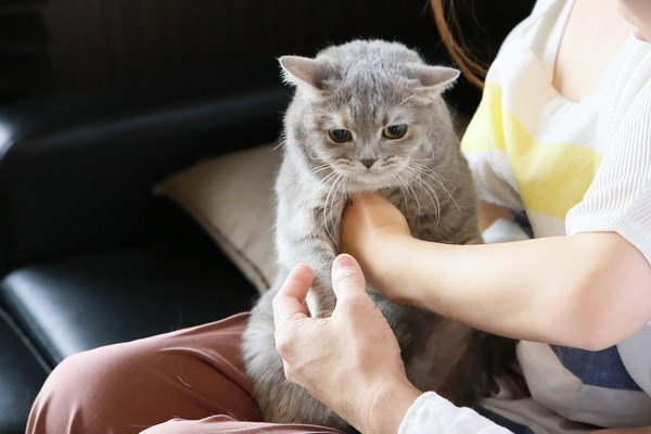 抱っこされる爪が黒いかもしれない灰色の猫
