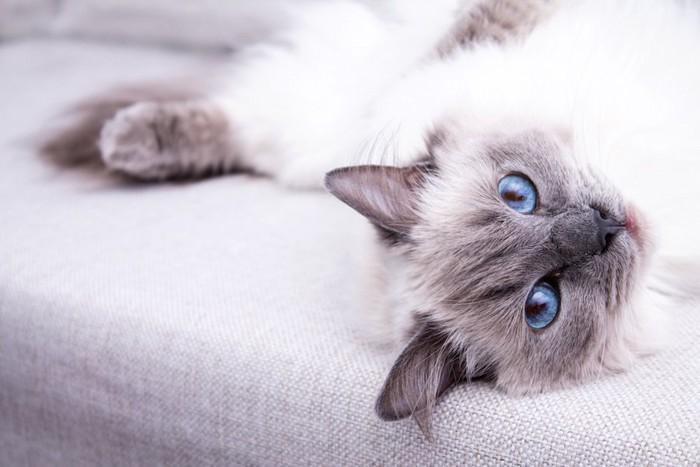 ソファーで横になる青い瞳の猫