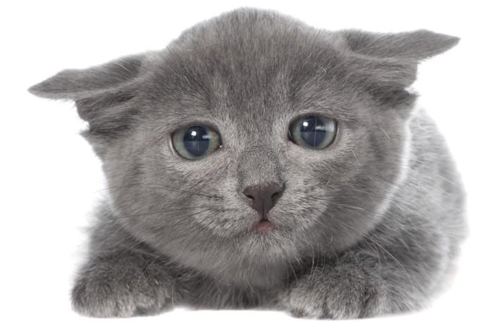 イカ耳子猫の写真
