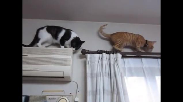 カーテンレールを歩く猫とエアコンの上の猫