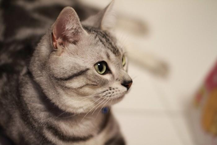 真剣な眼差しの猫
