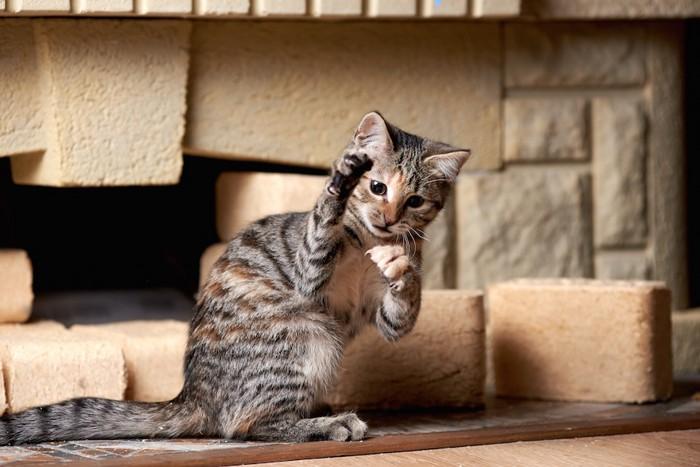 手をあげてじゃれる猫