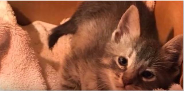 段ボール箱の子猫