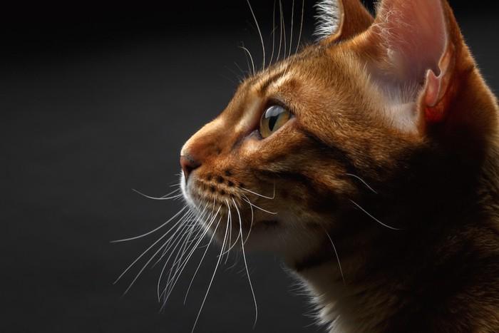 美しい猫の横顔