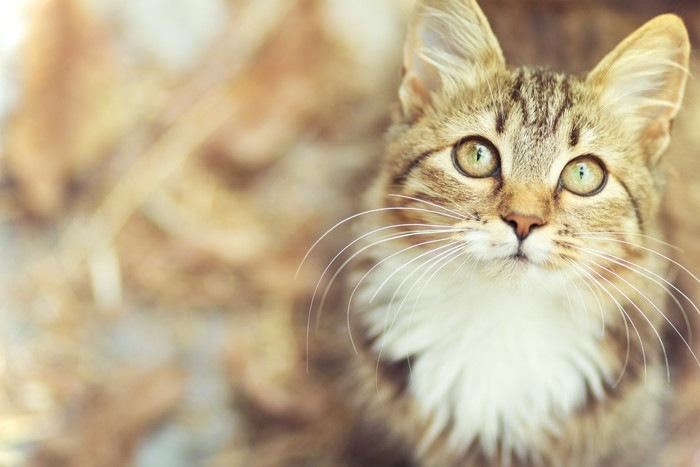 見上げている猫の顔