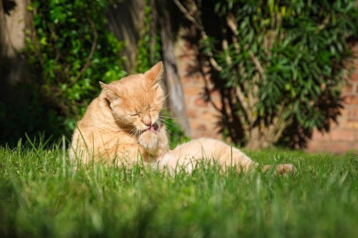 おっさん座りでグルーミングする猫