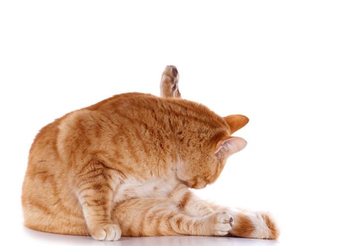 トイレのあとお尻を舐める猫