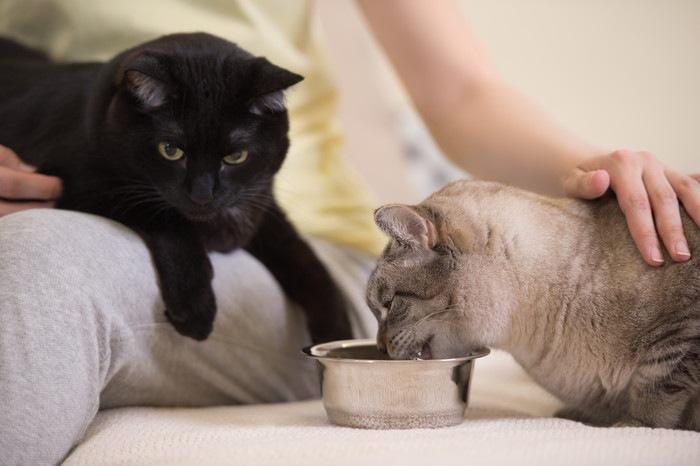 餌を食べている猫と、飼い主の膝の上にいる黒猫