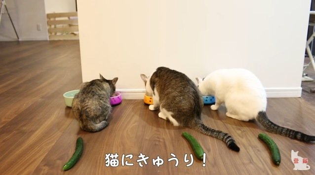 食事中の3匹の猫とキュウリ