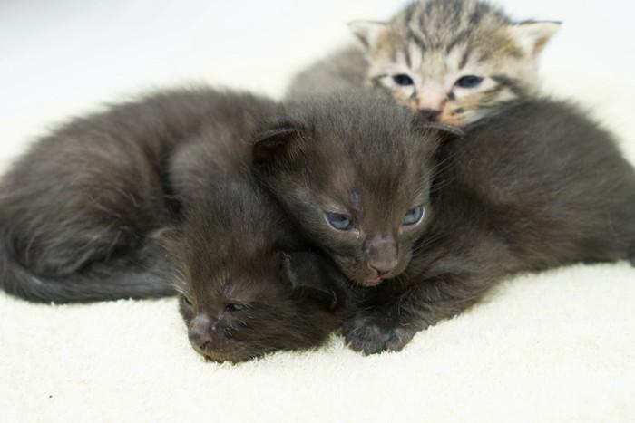 猫団子の子猫