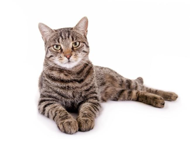 カメラ目線で横たわる猫