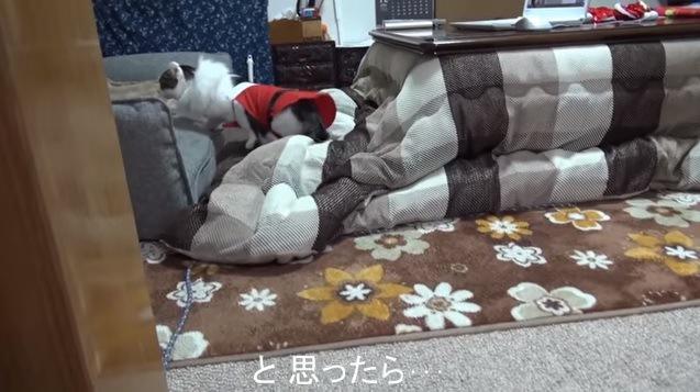 サンタ服を脱ぐ猫(遠くから撮影)