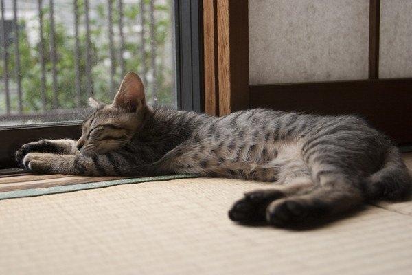 畳の上で伸びる猫