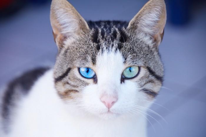 まっすぐと見つめる青い瞳の猫