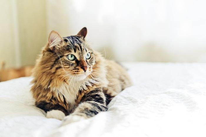 ベットの上の長毛種猫